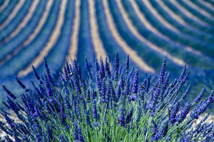 Lavender (Dominique Cappronnier)